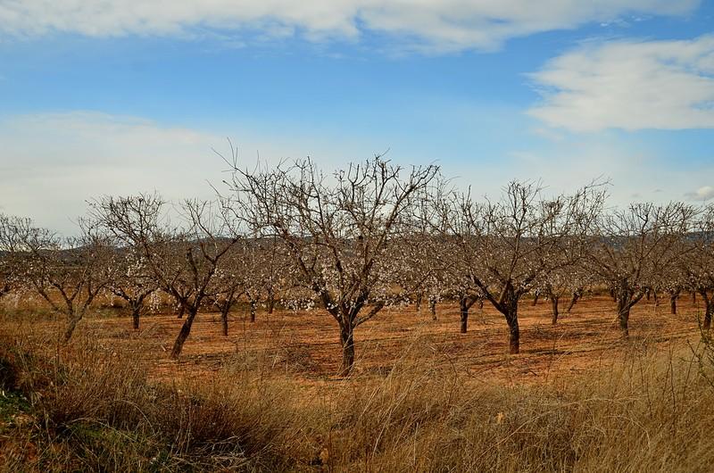 mar 04 6920 almond trees