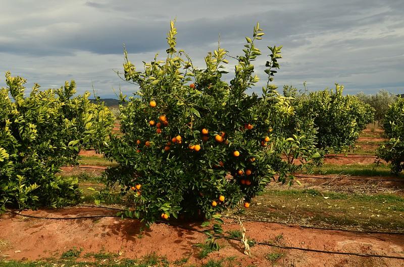 mar 04 6927 orange tree