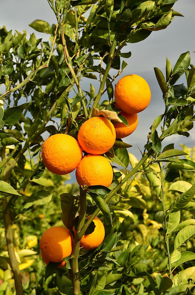mar 04 6929 oranges