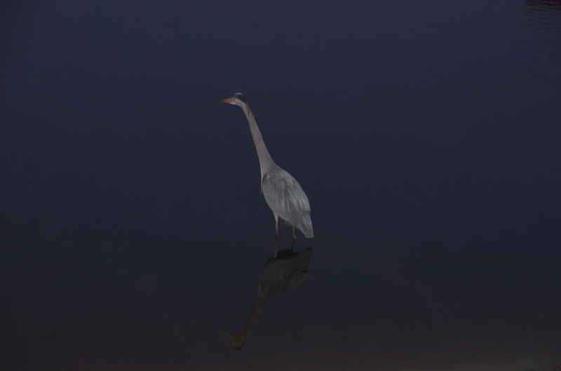 mar 05 6448 blue heron