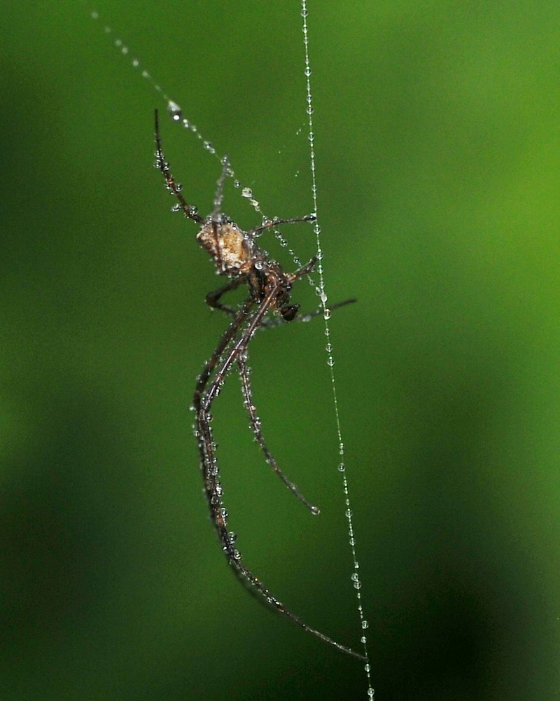 mar 06 7392 long legged spider drops