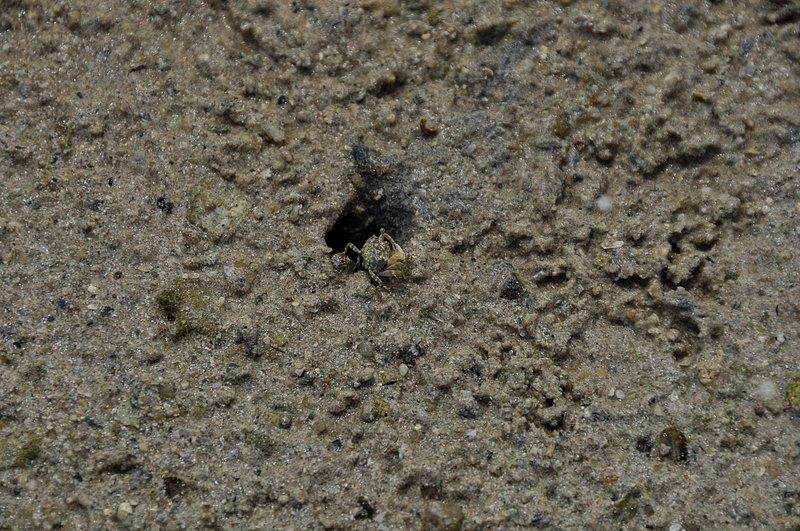mar 07 4483 baby crab