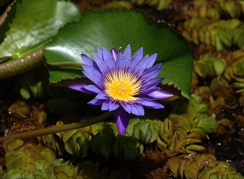 mar 08 0964 water lily