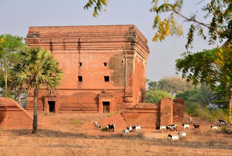 mar 09 1170 pagoda goats
