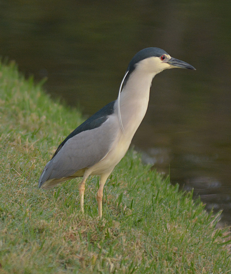 mar 10 0019 night heron