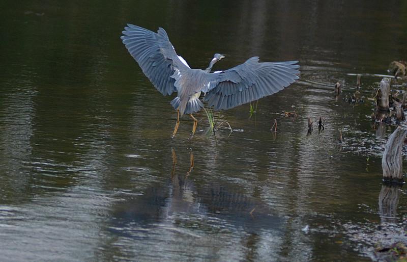 mar 10 0060 tricolor heron landing