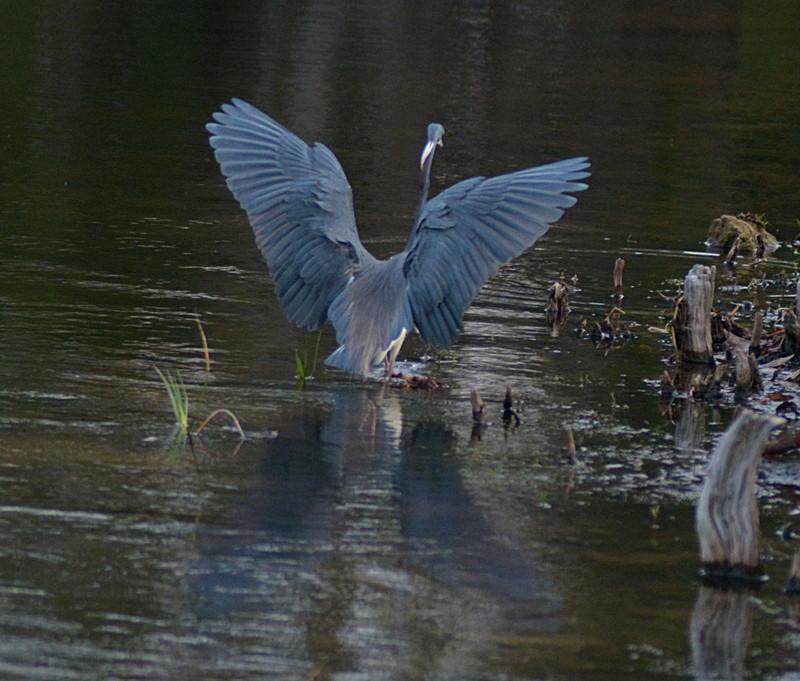 mar 10 0062 tricolor heron landing