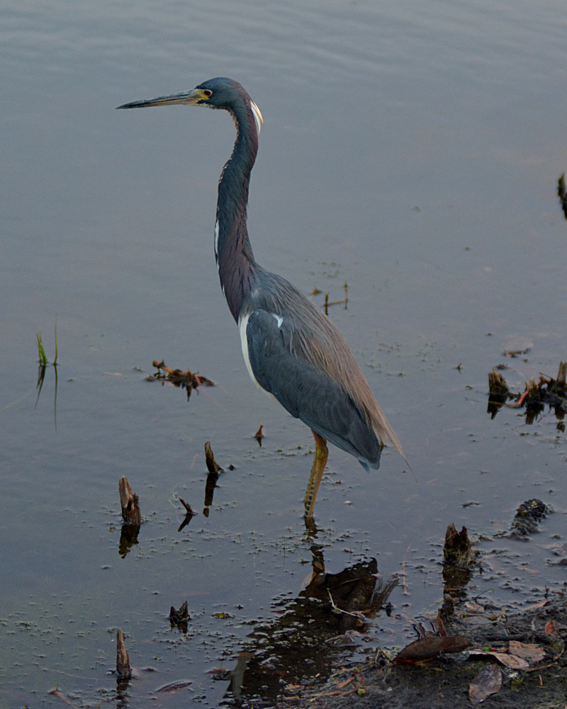 mar 10 0070 tricolor heron hunting