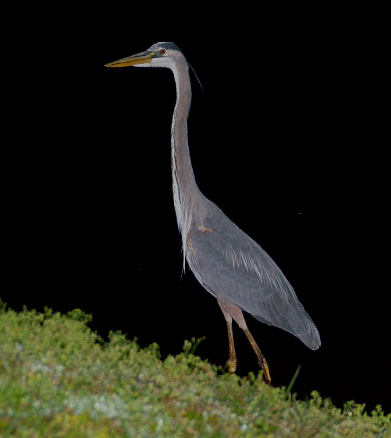 mar 19 8505 favorite great blue heron