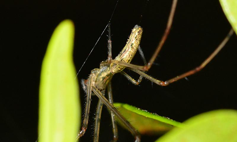 mar 22 2771 tetragnatha viridis eyes