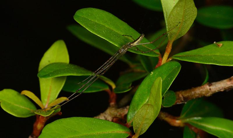 mar 22 2773 tetragnatha viridis long legs