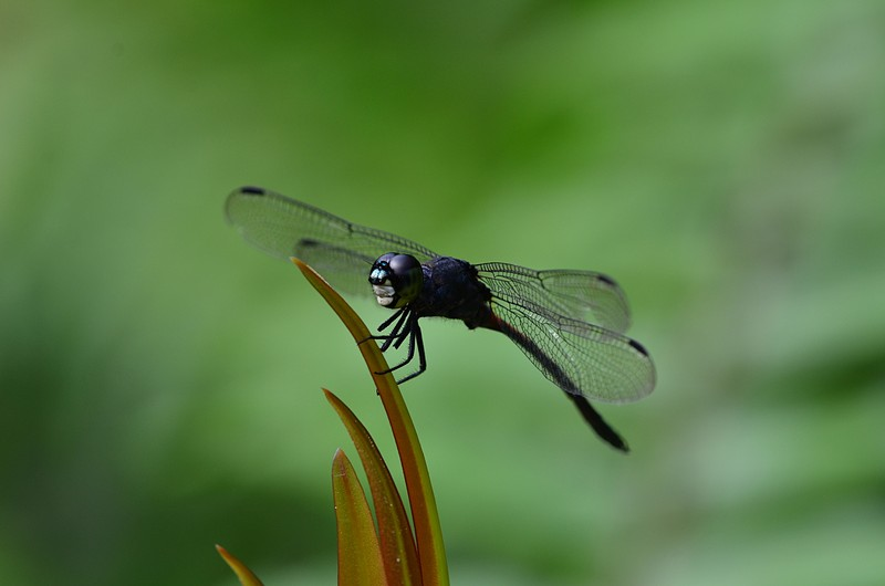 mar 25 9235 silhouette dragonfly