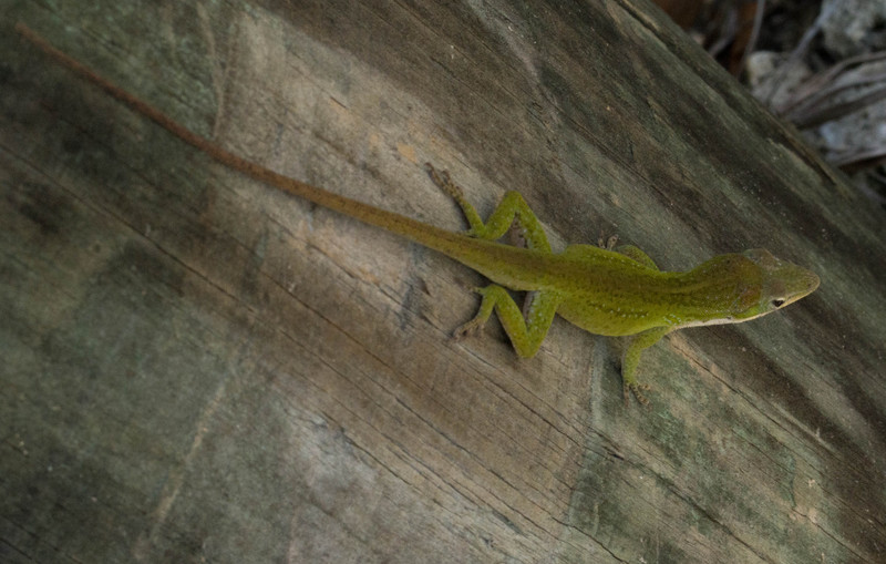 mar 26 3191 11 26 green lizard
