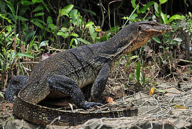 mar 26 9739 lizard