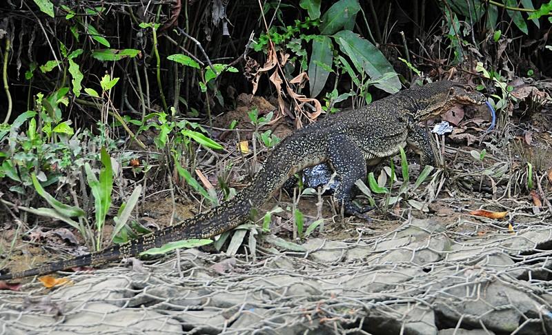 mar 26 9755 lizard