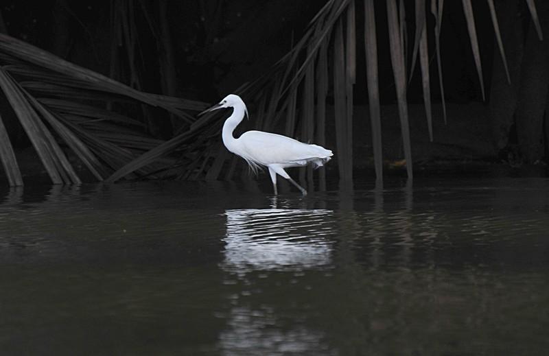 mar 27 0372 white bird walking