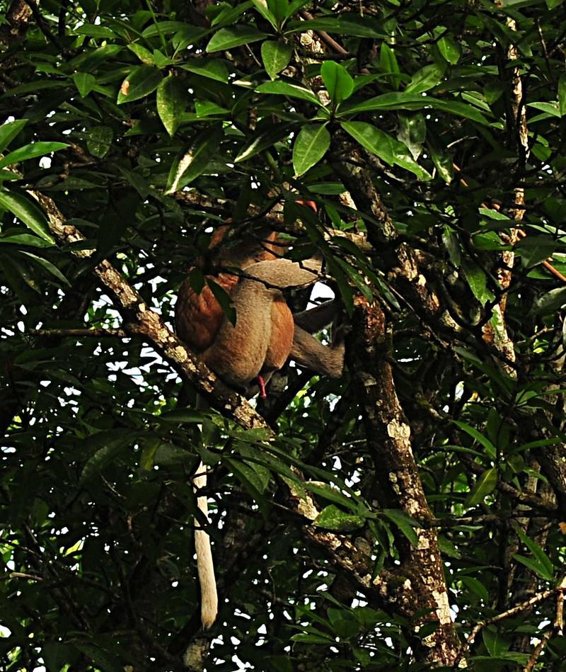 mar 27 0383 male monkey