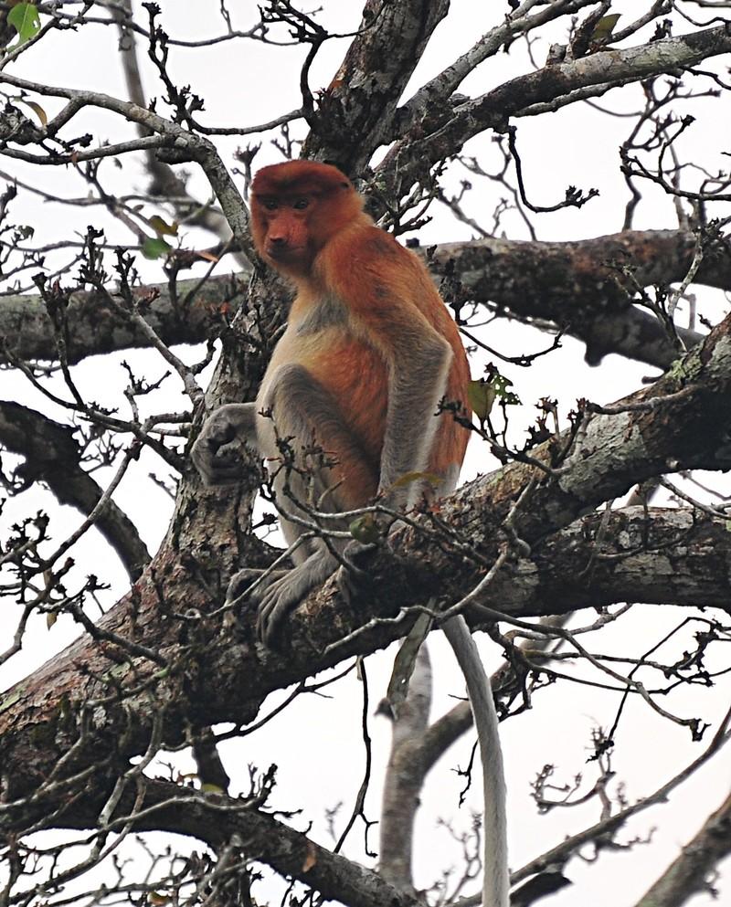 mar 27 0429 proboscis monkey