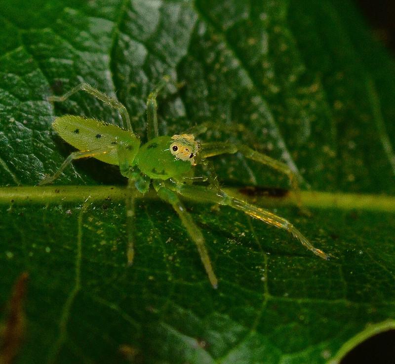 mar 27 3168 lyssomanes viridis