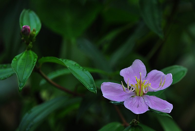mar 28 6562 melastomataceae