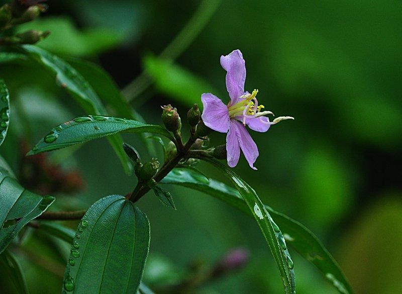 mar 28 6565 Melastomataceae