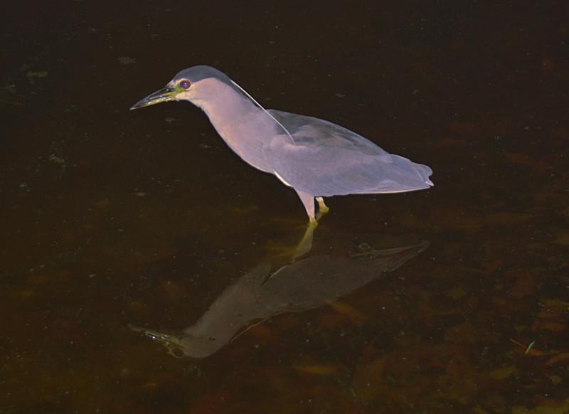 mar 30 black crowned nigh heron