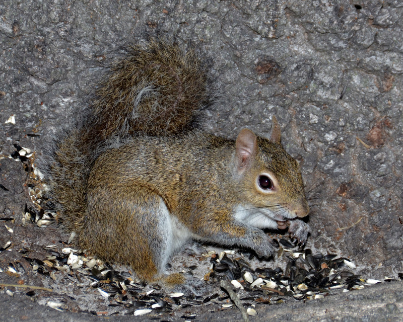 mar 31 8736 squirrel eating