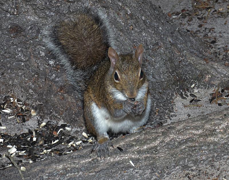 mar 31 8754 squirrel eating sunflower seeds