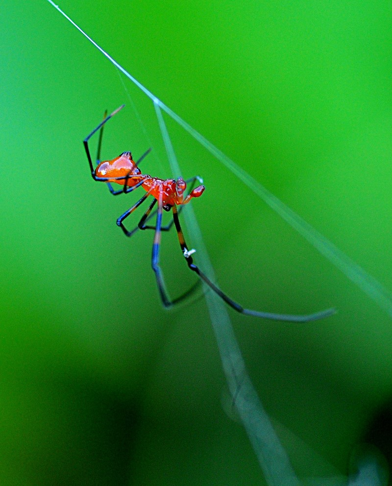 may 01 6825 male argyrodes