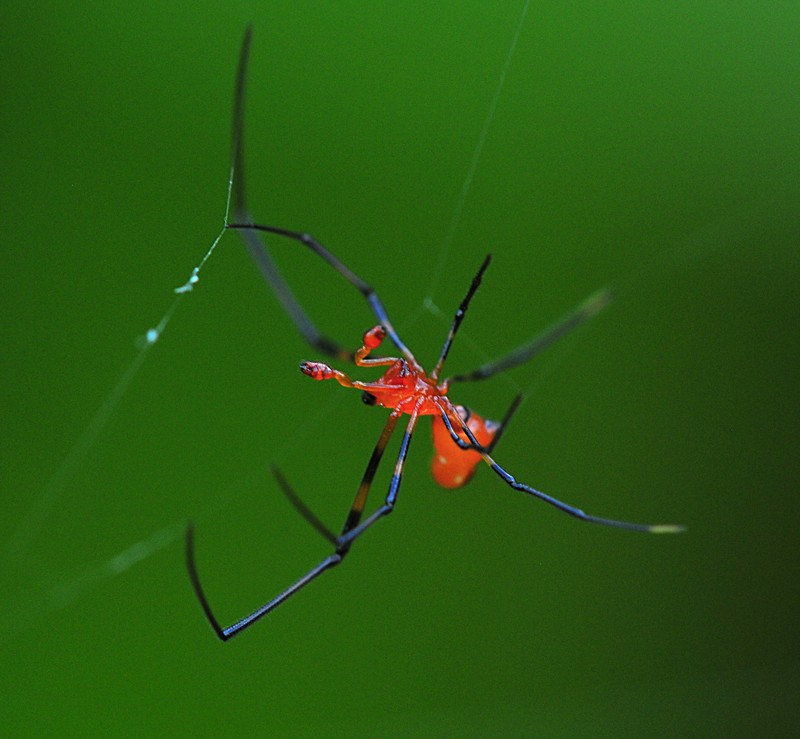 may 01 6943 male argyrodes