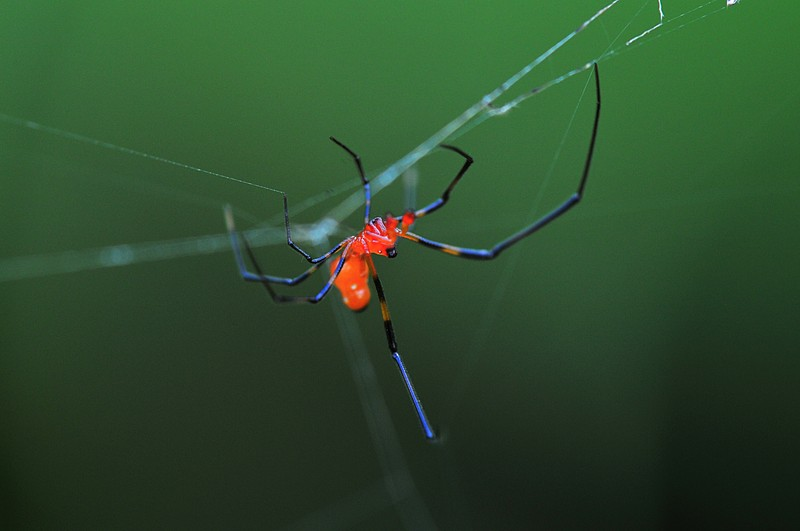 may 01 6986 male argyrodes