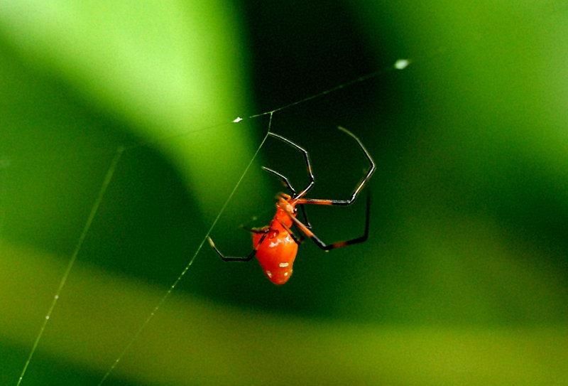 may 01 7232 argyrodes flavescens
