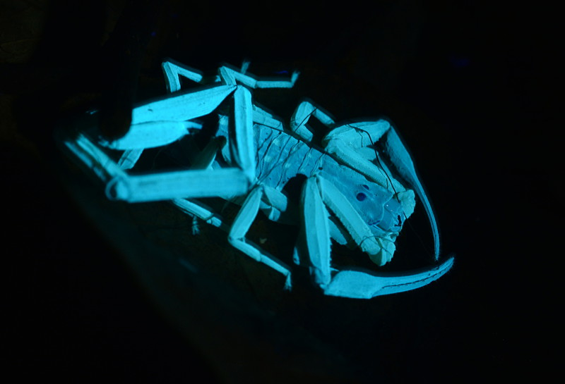 bioluminescence in fungi essay Bioluminescence symbioses, mechanisms and significance john paul tiernan introduction bioluminescence, which is the natural production of light by organisms, occurs in animals, fungi, protests and certain bacteria.