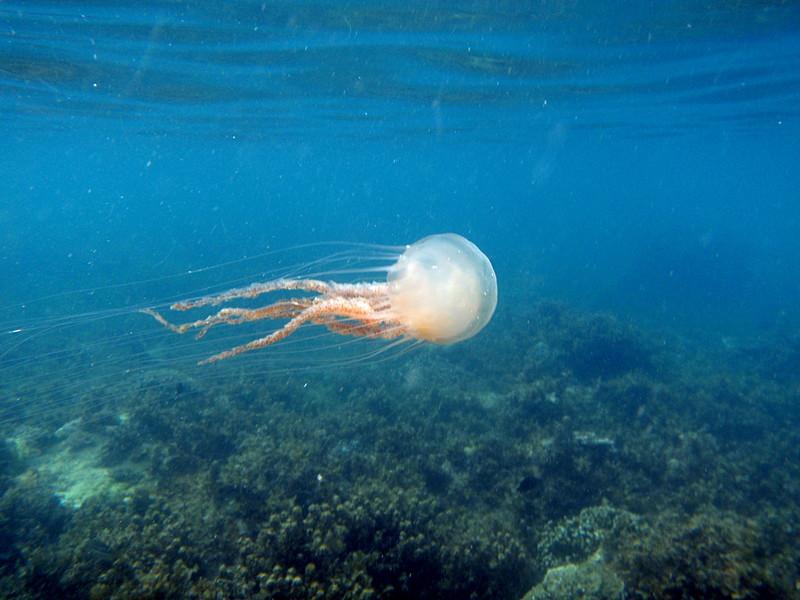 may 02 0178 jelly fish