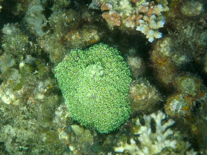 may 02 0411 green coral