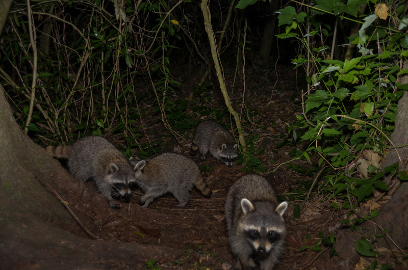 may 03 1524 4 raccoons 5 33