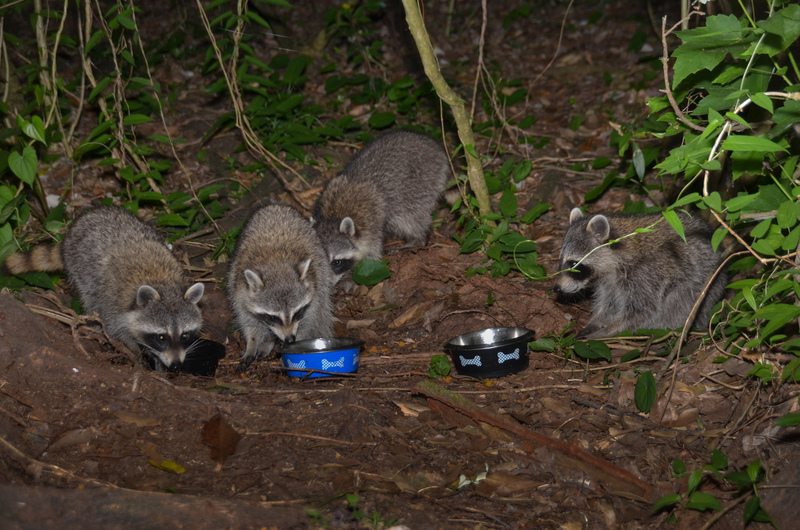 may 03 1554 4 hungry raccoons