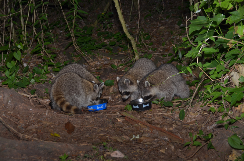 may 03 1581 4 raccoons