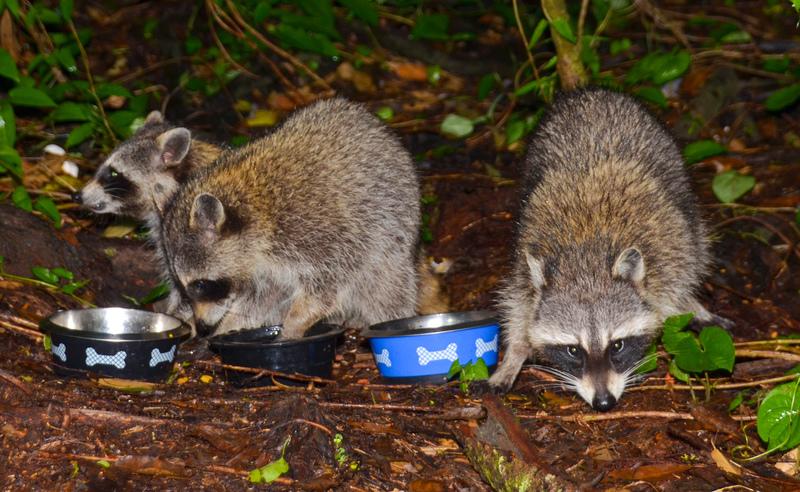 may 05 1709 3 raccoons