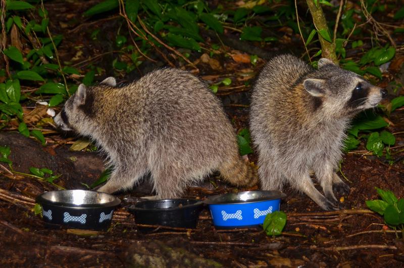 may 05 1746 2 alert raccoons