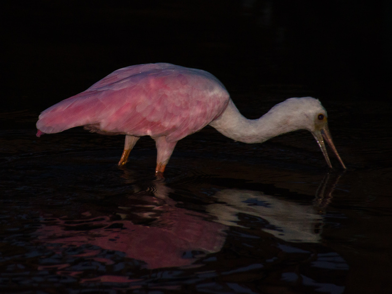 may 05 1764 night roseate spoonbill