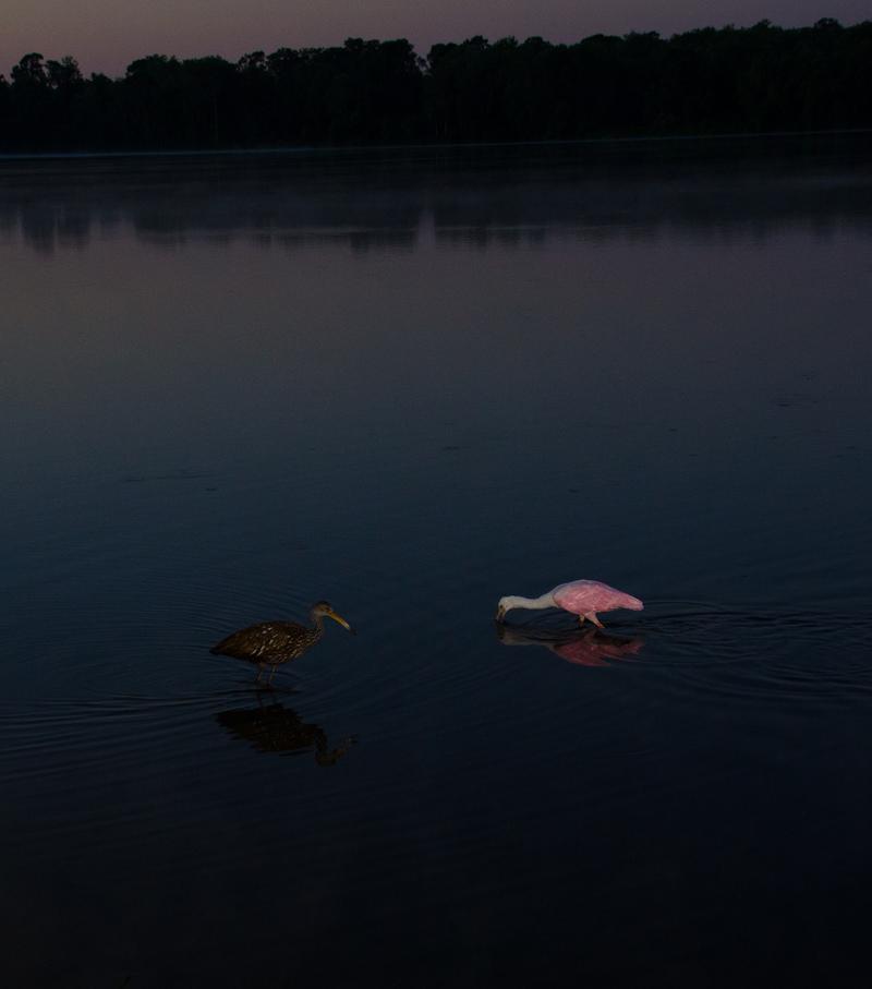may 05 1784 sunrise limpkin roseate spoonbill