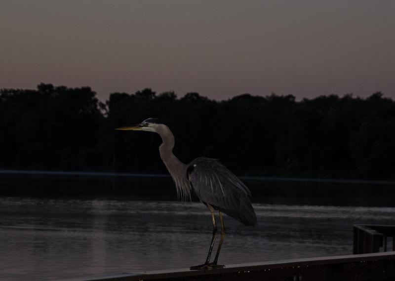 may 05 1822 sunrise tricolor heron