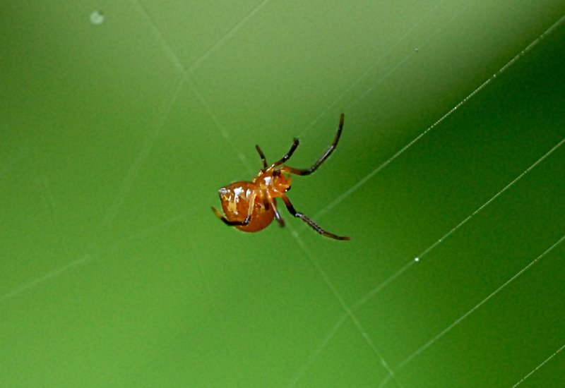 may 05 7766 argyrodes