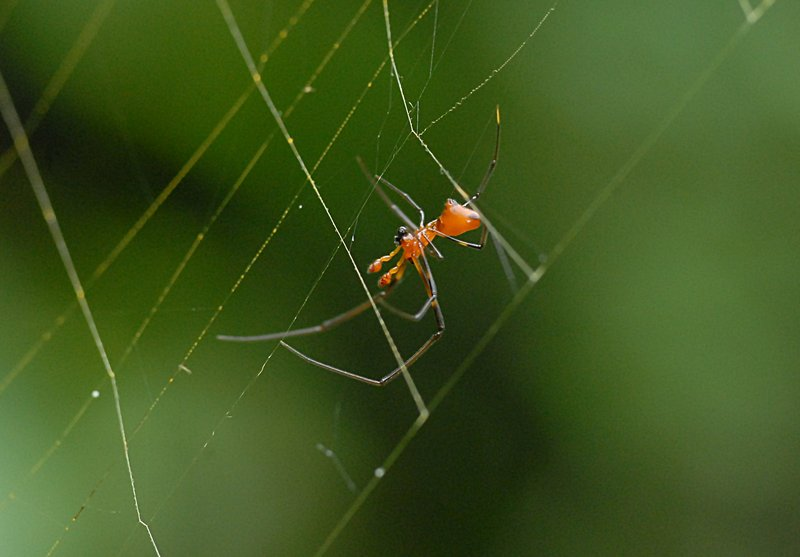 may 05 7940 male argyrodes