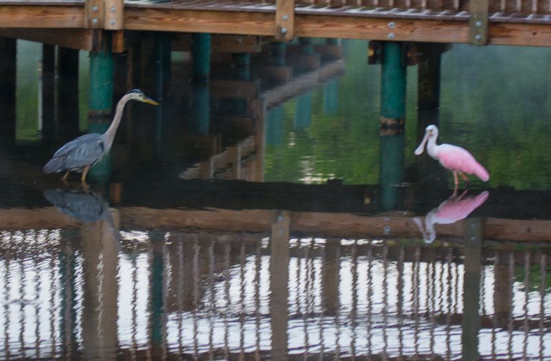 may 05 8539  tricolor heron roseate spoonbill
