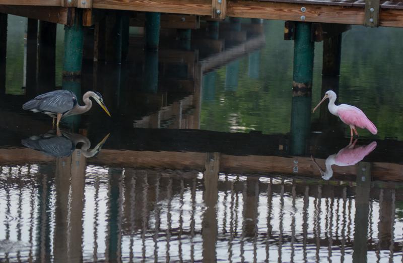 may 05 8542  tricolor heron roseate spoonbill