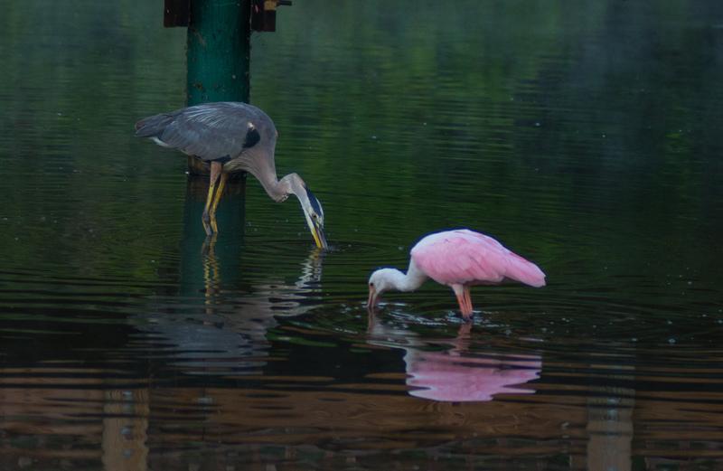may 05 8628  tricolor heron roseate spoonbill fishing