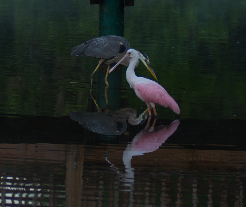 may 05 8643  tricolor heron roseate spoonbill fishing