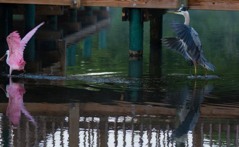 may 05 8654  tricolor heron roseate spoonbill fishing